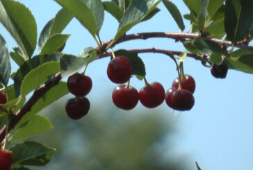 Odličan rod svih voćnih vrsta, posebno višnje