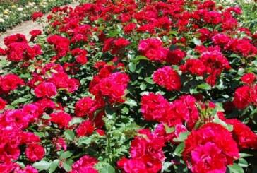 Izvoz sadnica ruža doneo preko 900 hiljada evra