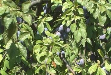 Zaštita bilja: Pridržavanje uputstva o dozi preparata i karenci (VIDEO)