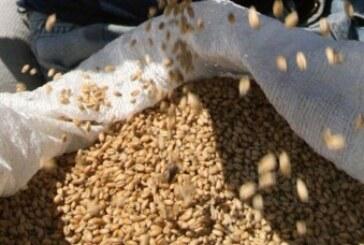 Počeo otkup merkantilne pšenice (VIDEO)
