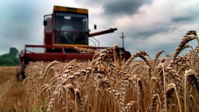 Narednih dana žetva pšenice
