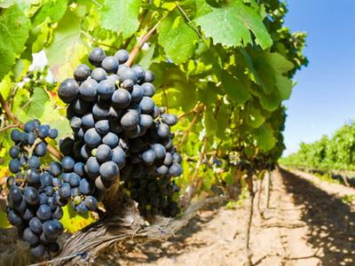 Dobar i kvalitetan rod voća i vinove loze (VIDEO)
