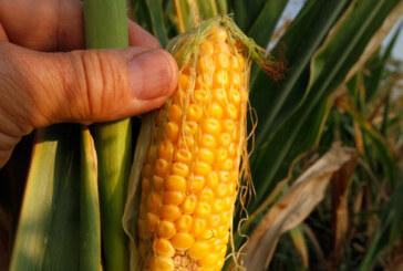 Dobar rod povrća, za kukuruz još neizvesno