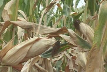 Siliranje kukuruza ove godine nešto ranije (VIDEO)