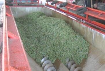 Rubin počeo otkup grožđa (VIDEO)