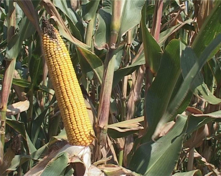 Ministarstvo poljoprivrede neće dozvoliti gajenje genetski modifikovanih proizvoda
