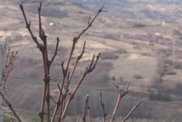 Prekinuli rezidbu vinove loze (VIDEO)