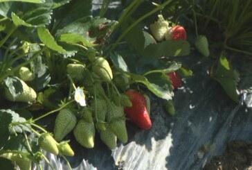 Sve više proizvođača se odlučuje za sadnju jagoda (VIDEO)