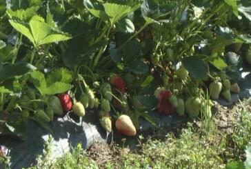 Loše vreme prepolovilo rod jagoda (VIDEO)