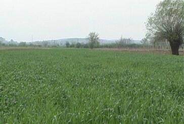 Vlaga, temperature i pregust sklop doveli do bolesti pšenice (VIDEO)
