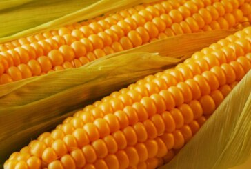 Važno: Preuzimanje semenskog kukuruza!