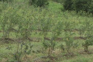Berba borovnice počela, kupina za dve nedelje (VIDEO)