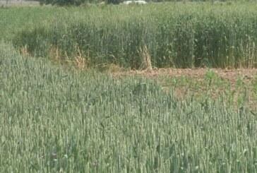 Velike količine padavina nepovoljno uticale na strna žita i kukuruz (VIDEO)