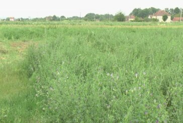 Padavine uticale na visoke prinose biomase (VIDEO)