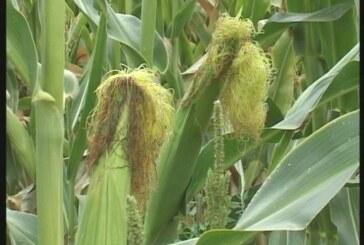 Česte padavine povoljno uticale na razvoj kukuruza (VIDEO)