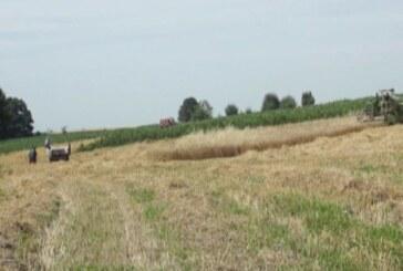 Nepovoljni vremenski uslovi negativno se odrazili na kvalitet i prinos pšenice (VIDEO)