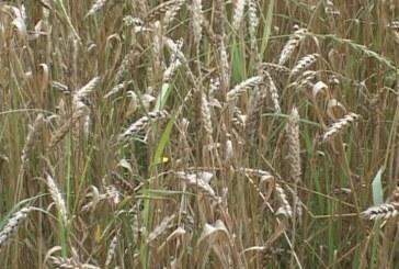 Žetvu pšenice prati nestabilno vreme (VIDEO)