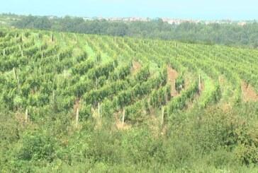 Bez obzira na nestabilne vremenske prilike, vinogradi dobro poneli  (VIDEO)