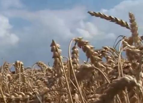 Pšenice ipak dovoljno za domaće potrebe, ali i za izvoz