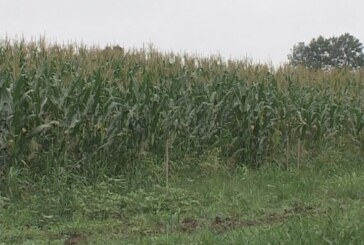 Kišovito vreme se negativno odražava na useve (VIDEO)