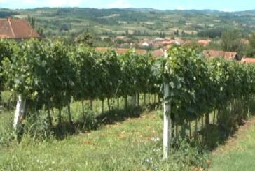 Konkurs za subvencionisanje zasada voća, vinove loze i hmelja (VIDEO)