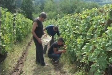 Ljubavski vinogradi (VIDEO)