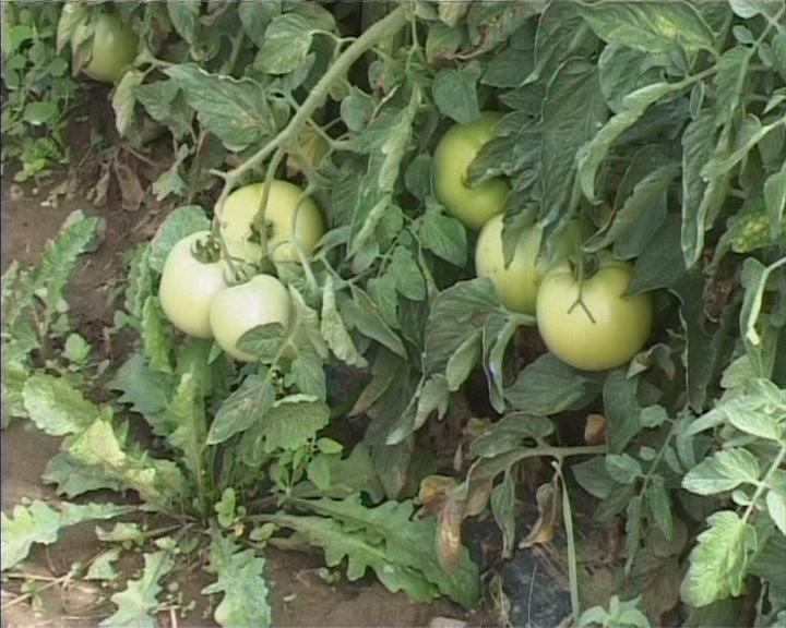 Proizvodnja paradajza na otvorenom ove godine veoma otežana (VIDEO)