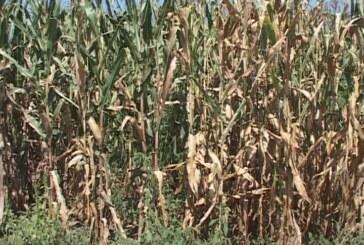 Berba kukuruza će kasniti, počeće u oktobru (VIDEO)