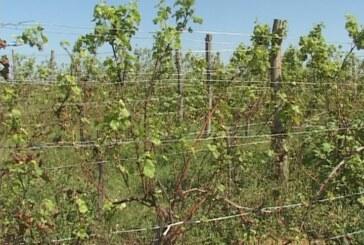 Nepovoljne vremenske prilke loše uticale na stanje vinograda u Župskom kraju (VIDEO)