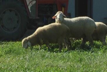 Ovčarstvo danas (VIDEO)