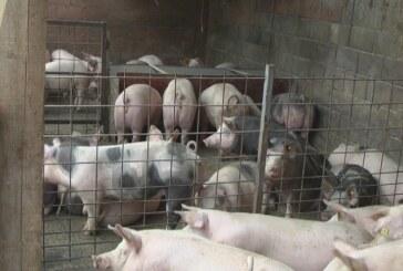 Kako se snalaze naši farmeri u proizvodnji i plasmanu svinjskog mesa