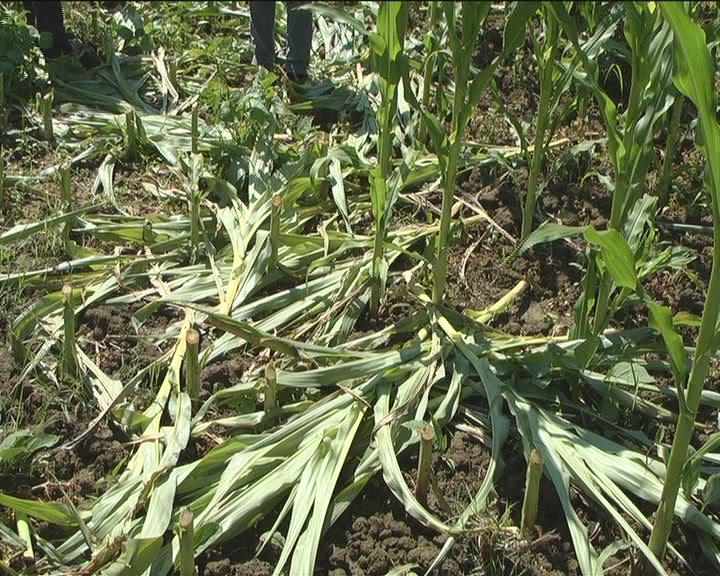 Posečen kukuruz na parceli Miroslava Anđelkovića