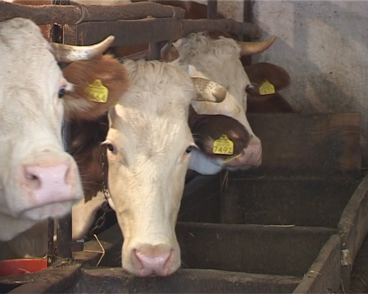 Izašao Pravilnik o korišćenju podsticaja u stočarstvu za tov junadi, svinja jagnjadi i jaradi