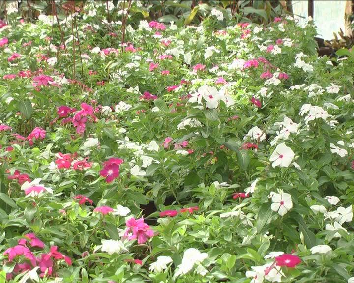 """Radnici JKP """"Kruševac"""" uspevaju da održe biljke i bez sistema za rashlađivanje"""