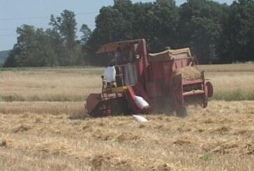 Manji prosečan rod pšenice