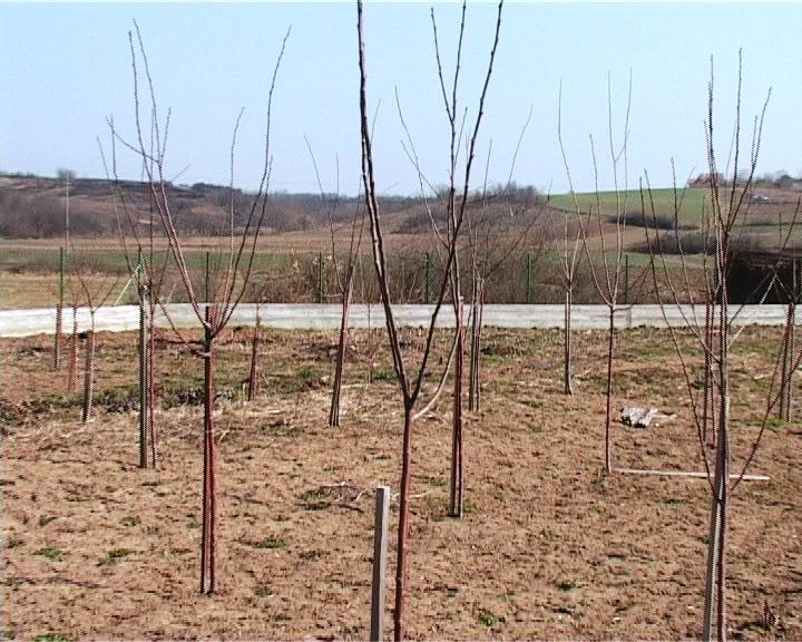 Aktuelne mere zimske zaštite u voćnjacima