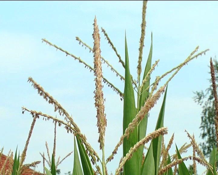 KLAS Televizije Kruševac: Žetva ovsa, stanje kukuruza… (KOMPLETNA EMISIJA)