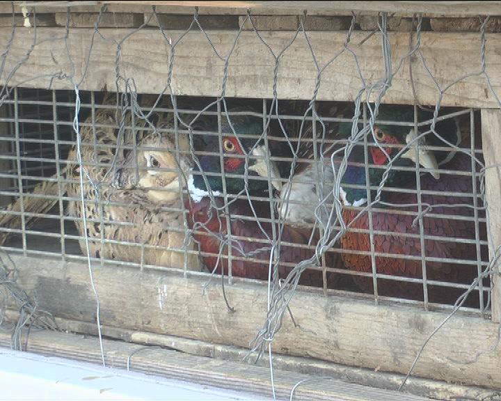 Podeljeni fazani za lovišta Lovačkog udruženja Kruševac