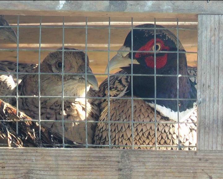 """Lovačko udruženje """"Kruševac"""" sprovelo akciju puštanja fazana za reprodukciju"""