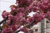 Cvetanje japanske trešnje u Karadžićevoj ulici