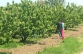 Neophodno obaviti tretmane zaštite zasada koštičavog i jabučastog voća i pšenice