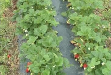 Primena biostimulatora u zasadima pod voćem i vinovom lozom – preporuka stručnjaka