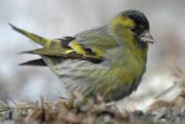 Takmičenje ptica pevačica u nedelju na Bagdali