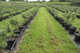 U POSETI: Milutin Adamović iz Konjuha proizvodi borovnice u saksiji