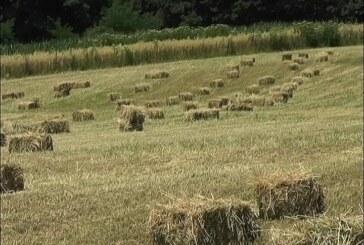Žetva ječma i pšenice počela u Rasinskom okrugu