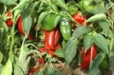 Zaštita paprike i voća