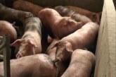 Afrička svinjska kuga za sada nije registrovana na području Rasinskog okruga