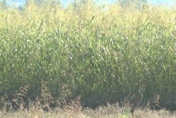 Sudanska trava – krmna biljka kojom se može hraniti stoka