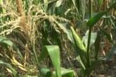 Uprkos nepovoljnim vremenskim uslovima – kvalitet kukuruza zadovoljavajući