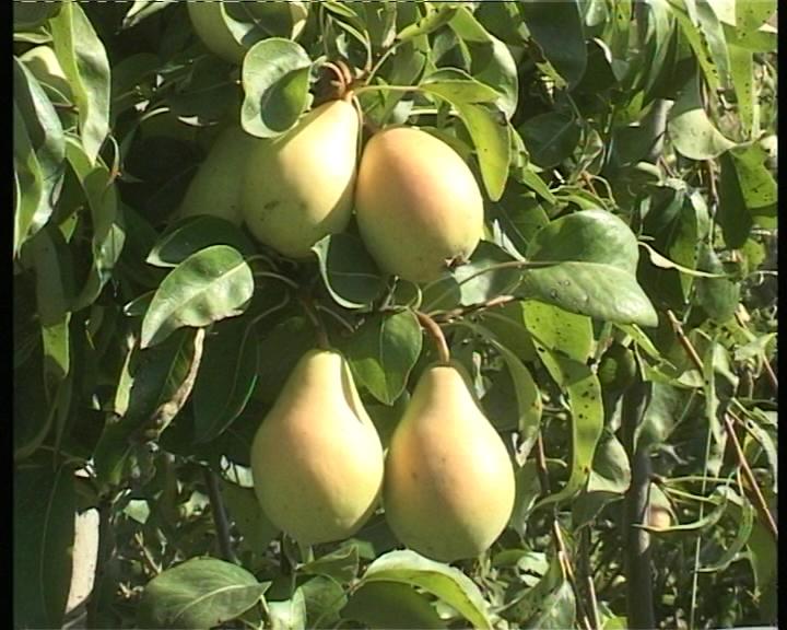 Prekomerna upotreba pesticida u vreme berbe stvara probleme otkupljivačima i izvoznicima